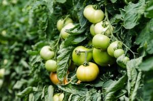 Tomate sous serre - août 2015